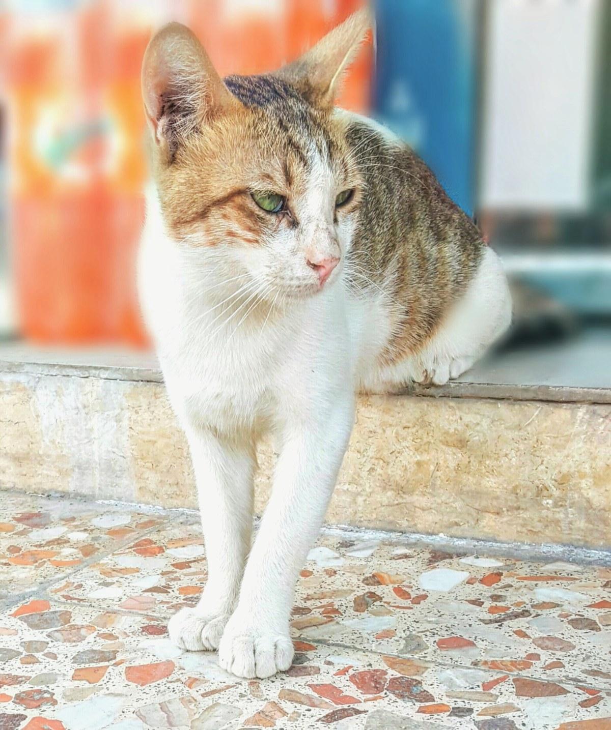 10 cat breedspersonalities